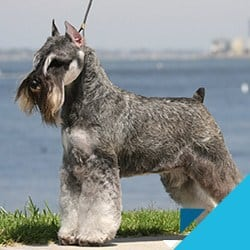 how much does a miniature schnauzer cost thumbnail