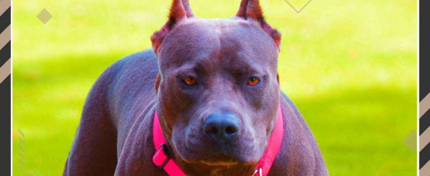 how much does a blue nose pitbull cost thumbnail