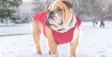 Bulldog Dog Clothes